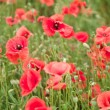 Stockfoto: Field of wild poppy flowers.