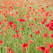 Field of wild poppy flowers. — Stockfoto #10634825