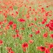 Stock Photo: Field of wild poppy flowers.