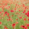 Campo di fiori di papavero selvatici — Foto Stock