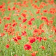 Field of wild poppy flowers. — Stockfoto