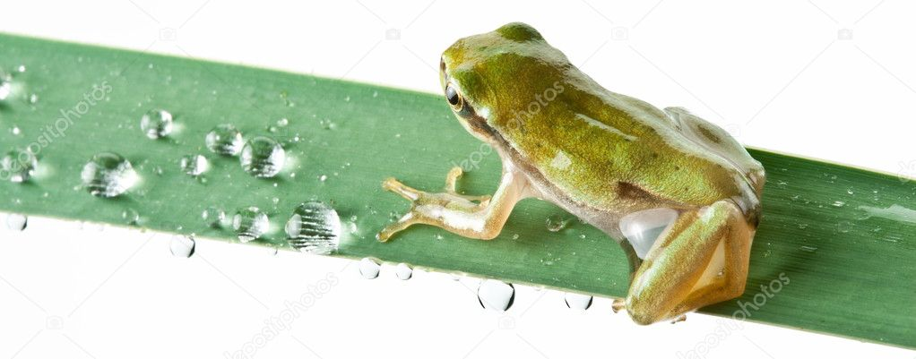 Little frog over rush isolated on a white background. — Stock Photo #8042196