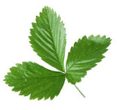 Strawberry leaf on a white background. — 图库照片