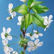 Three cherry flowers on a blue background. - Stock Photo