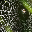 Spider on the web. - Zdjęcie stockowe