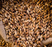 Malt, macro — Stock Photo