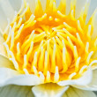 Close up of water lily - Stock Photo