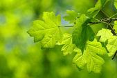 Green leaves — Stockfoto