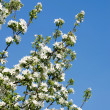 Blooming white flowers — Foto Stock