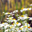 Camomile blossoms — Stock Photo