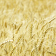 Wheat — Foto Stock