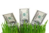 Dollar bills in grass — Stock Photo