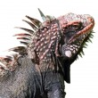 Stock Photo: Giant green iguana