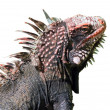 Giant green iguana — Stock Photo