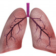 Lungs on a white background — Stock Photo