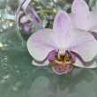 Beauty delicate orchid — Stock Photo