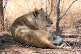 Lioness laying in the Shade Smiling — Stock Photo