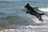 Black Dog Jumps Over the Waves into the Sea — Stock Photo