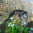 Snowdrops under stub — Stock Photo