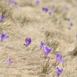 Stock Photo: Springtime is the moment for this purple flower