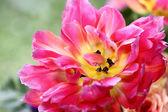красивый розовый тюльпан — Стоковое фото