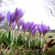 Early spring crocus flowers — Foto de stock #9533425