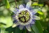 Passiflora coerulea — Stock Photo