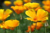 Californian poppies — Stock Photo