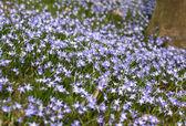 Blue spring flowers — Stock Photo