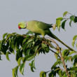 Stock Photo: Ringnecked Parakeet