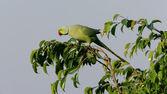 Ringnecked Parakeet — Stock Photo