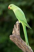 Ringnecked Parakeet — Stock Photo