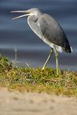 Western Reef Heron — Stock Photo