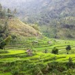 Bali Rice Terraces — Stock Photo #8834575