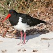 Royalty-Free Stock Photo: Pied Oystercatcher