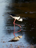 Black-winged Stilt Reflection — Stock Photo