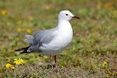 Hartlaub's Gull — Stock Photo