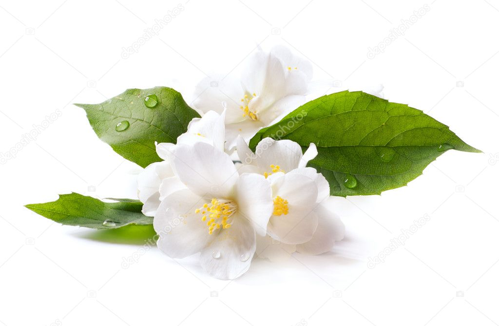 Jasmine white flower isolated on white background  Stock Photo #10709130