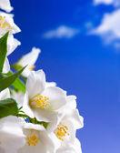 Art jasmine flowers background — Stock Photo