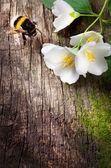 Bee and flower jasmine — Stock Photo