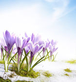 Art spring crocus flowers in the snow Thaw — Foto Stock