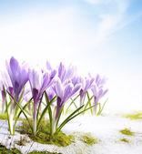 Kunst voorjaar crocus bloemen in de sneeuw dooi — Stockfoto