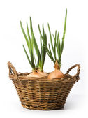 Art spring onions growing in the basket — Stock Photo