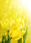 Spring Flowers Tulips under gold magic rain — Stock Photo