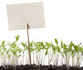 Art seedlings of tomato and pointer class — Stock Photo