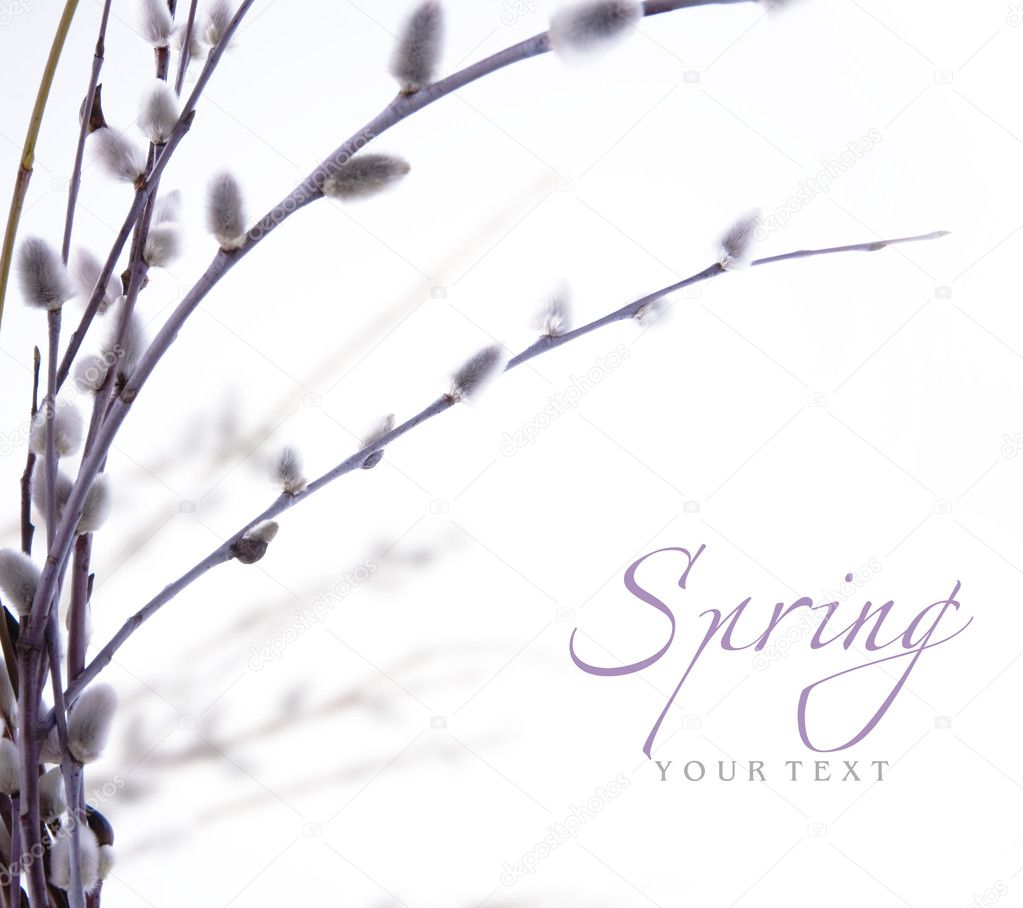 Spring flowering branches of willow — Stock Photo #8596122