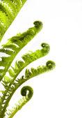 芸術の開発。白の背景に隠れて上春シダの葉の成長 — ストック写真