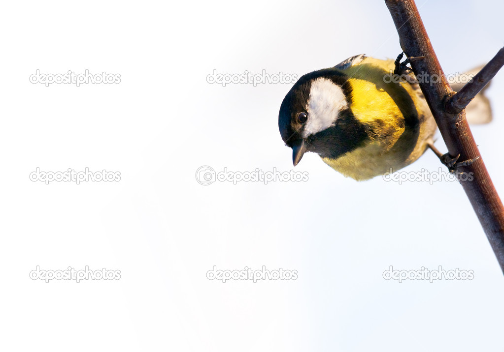 Great tit on a branch, looking down, on white background — Stock Photo #9143709