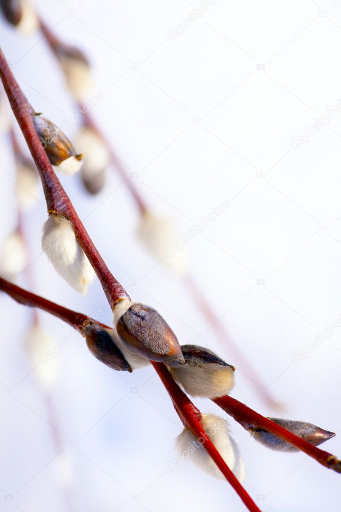 Willow  pussy spring flower on sky  background — Stock Photo #9241324