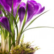 Art Beautiful spring flowers  isolated on white background - Photo